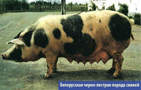 Белорусская черно - пестрая порода свиней относится к универсальному (мясо - сальному) направлению продуктивности. Порода была выведена в Белорусской ССР в результате сложного скрещивания местных свиней со свиньями других пород.