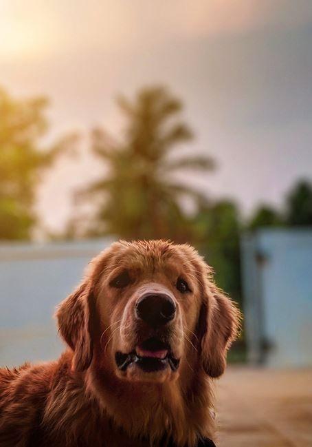 Goldenretriever Dog Cutedog Dogtraining Puppy Puppytraining