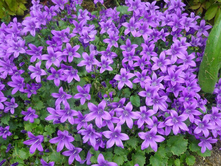 Campanule flowers fleurs pinterest discover more ideas about campanule potager and plantes - Campanule des murs ...