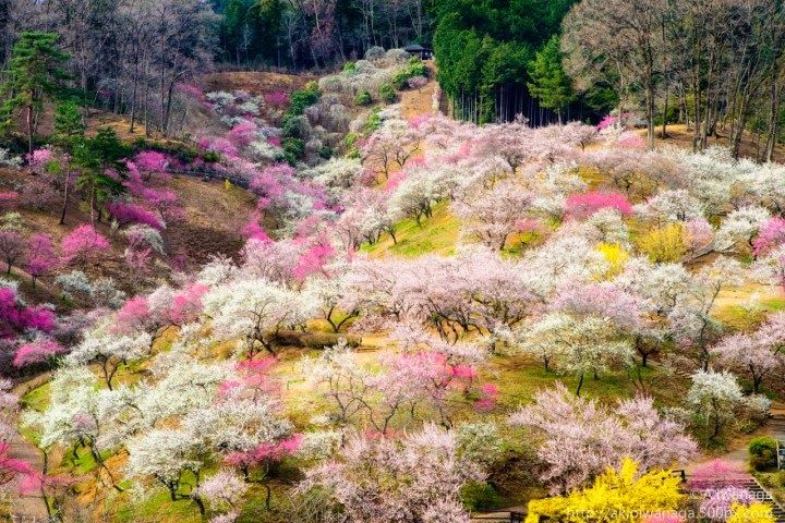 """And finally the spring has arrived .. bringing with it warmth , the bright sky , wonderful green shoots and lots and lots of colors of nature, especially for those who live in Japan arrival of spring means to them something else, it is the beginning of the season, for Cherry Flowers or """"Sakura"""" flowers in Japanese,which are known with its wonderful pink color that attracts thousands of tourists and photographers from all over the world to view and photograph ."""