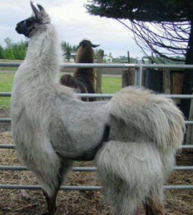 I heart shaved llamas.