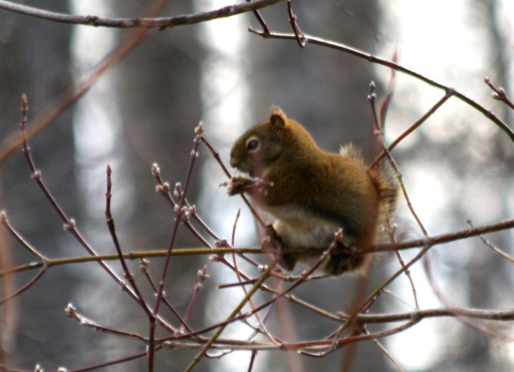 A Red Squirrel perches on a branch at the Mission Marsh Conservation Area (Thunder Bay, ON)... nibbling on fresh tree buds.