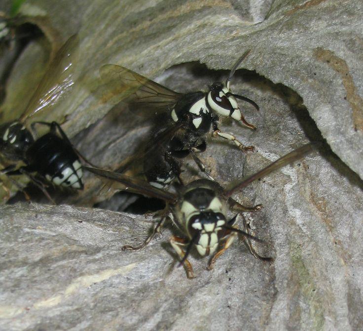 12 best wasps baldfaced hornet white faced white