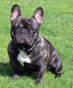 Franse Bulldog. :)