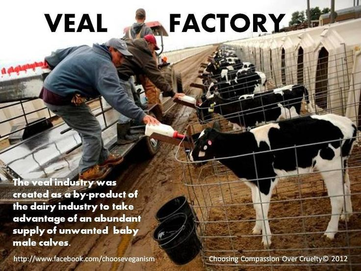 factory farming cruel or not The best way to save cows from the misery of factory farms is to stop buying milk and other dairy products discover the joy of soy fortified plant-derived milks provide calcium, vitamins, iron, zinc, and protein but do not contain any cholesterol.