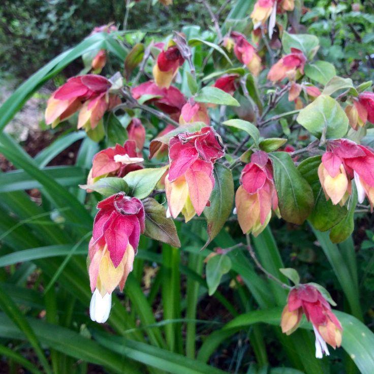 Belloperone guttata (Justicia brandegeana), srimp plant, biljka račić