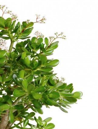 Pflanzen zum Wohlfühlen - Pflanzenportraits - Crassula