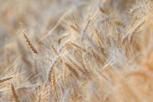 Wheat field, Corbu, Romania Photo: Aleksandar Mazzora