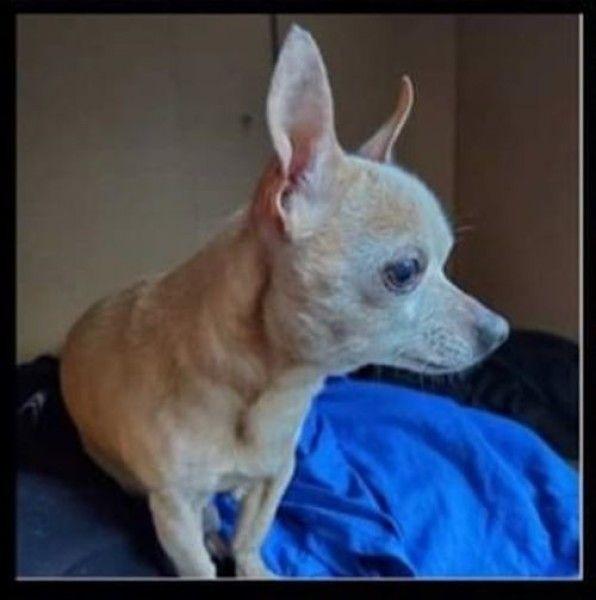 Chihuahua Dog For Adoption In Wayne New Jersey Fendi Valentino