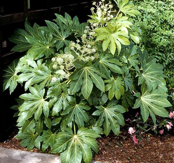 fatsia japonica | Fatsia japonica « Kwiaty doniczkowe