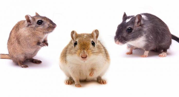 Gerbil Colors Patterns And Markings Gerbil Color Animals
