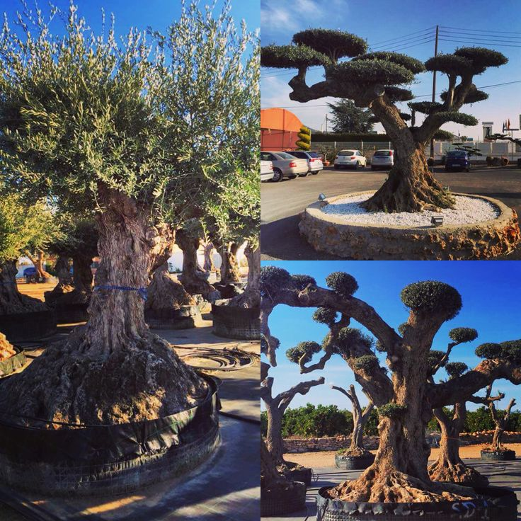 Just some of the amazing olive trees we saw on our trip to a nursery in Valencia last week. The hardest choice is knowing which ones to bring in! Please let us know if you would like one, they haven't been exported to the UK yet so you would be the first person to have one! They are hardy down to -15.