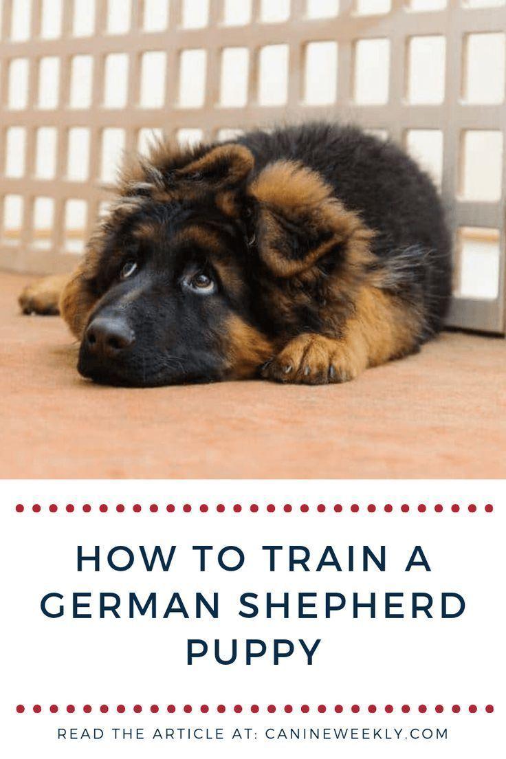 How To Train A German Shepherd Puppy Shepherd Puppies Guard Dog