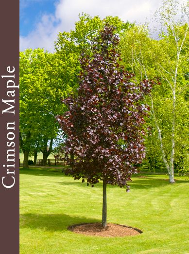 King Red Maple Trees Native Maples Norway Maples Red