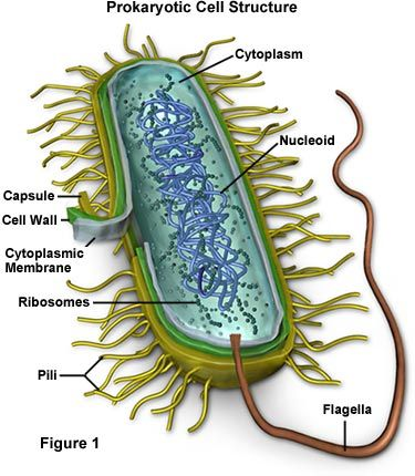 I am learning this right now in school. Prokaryotic Cell Structure - no nucleus