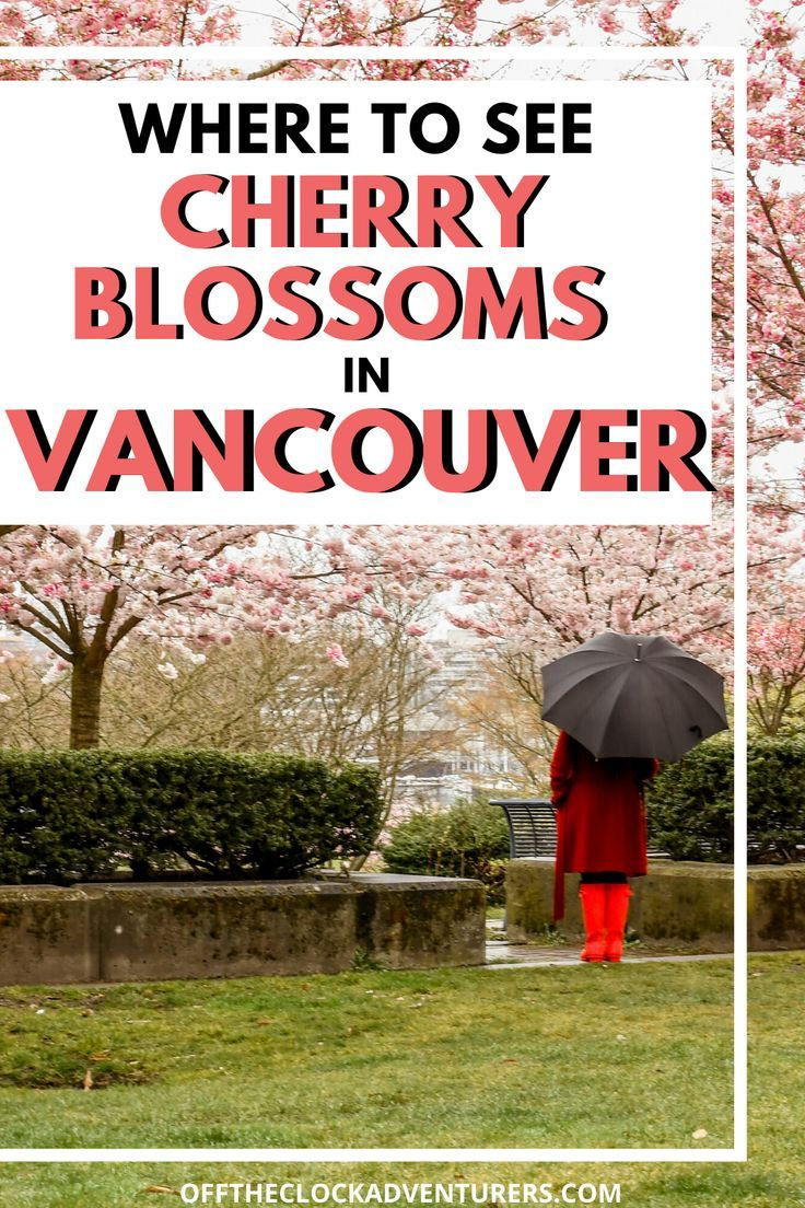 Where To See Cherry Blossoms In Vancouver Vancouver Travel Canada Travel Vancouver