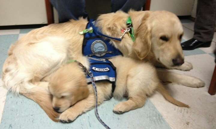 Comfort dogs. Love them. Also, today (01/22/2013) is International PUPPY Day!