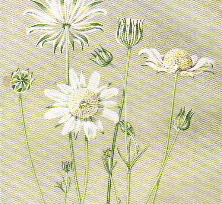 Flannel Flower Australian Wild flower print vintage botanical flower illustration white lowers. $14.95, via Etsy.