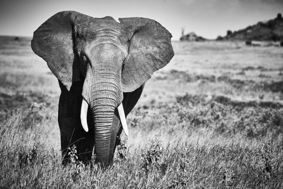 Original fine art photography print or image on canvas featuring the a lone bull elephant on the Serengeti Plains, Tanzania, Africa.  FINE ART PHOTOGRAPHY PRINT • Frame not included • Landscape print sizes: 4x6, 5x7, 8x10, 10x12, 12x16, 16x20, 20x24, 24,36  FINE ART CANVAS (only available for UK shipping due to costs) • Canvas depth 2 • Canvas edge will be white to ensure you do not lose any of the image • Landscape canvas sizes: 12x16, 25x30, 30x40  If you would like to discuss any of the…