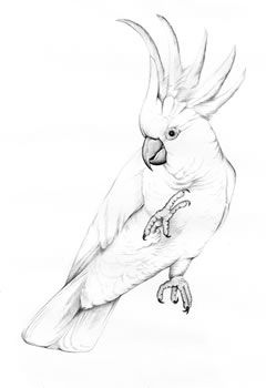 "Sulphur-crested Cockatoo sketch. By Ink Dwell Studio for the Cornell Lab of Ornithology. ""From so simple a beginning"" mural"