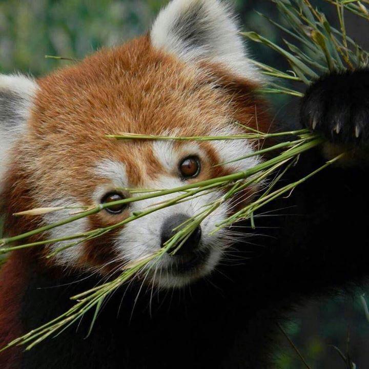 #KleinerPanda at Zoo Karlsruhe Germany. Credit & thanks for this wonderful photo to Fabian Kümpel @zoo_karlsruhe_fanpage #redpanda #pandaroux #roterpanda #pandarojo #pandarosso #kleinerpanda #ailurusfulgens #赤いパンダ #rödpanda #lesserpanda #karlsruhe #zookarlsruhehttps://www.instagram.com/p/BVrg9JalPQw/