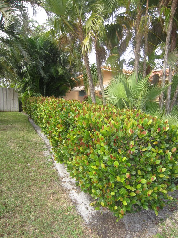 Durable Plants For The Garden: Cocoplum, Durable Hedge, Can Be Kept From 3 1/2' To 6