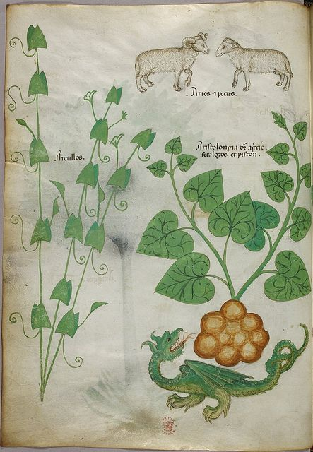Miniatures of plants, sheep, and a dragon - (Tractatus de Herbis - Sloane 4016 f. 6) | Flickr - Photo Sharing!