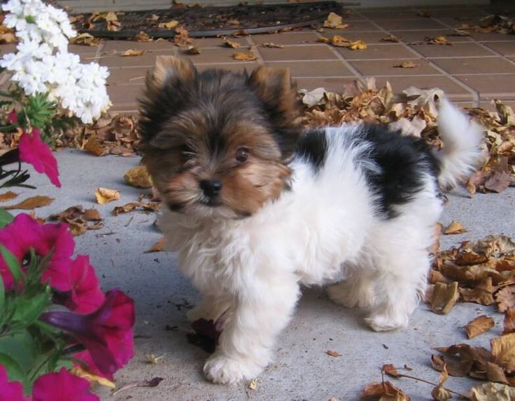 yorkie breeders in tn 38 best images about biewer yorkie on pinterest 9210