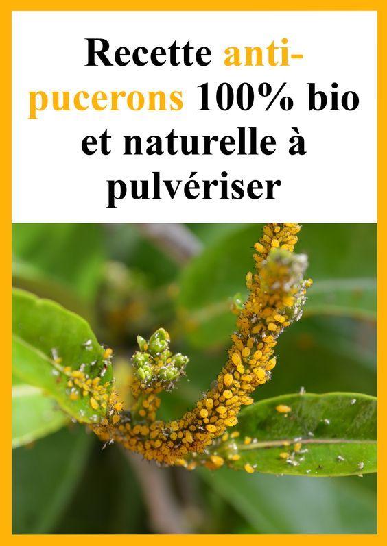 Recette anti-pucerons 100% bio et naturelle à pulvériser