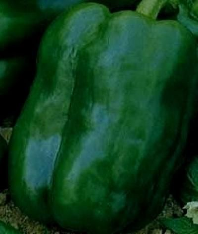 Capsicum - Chinese Giant Organic Heirloom