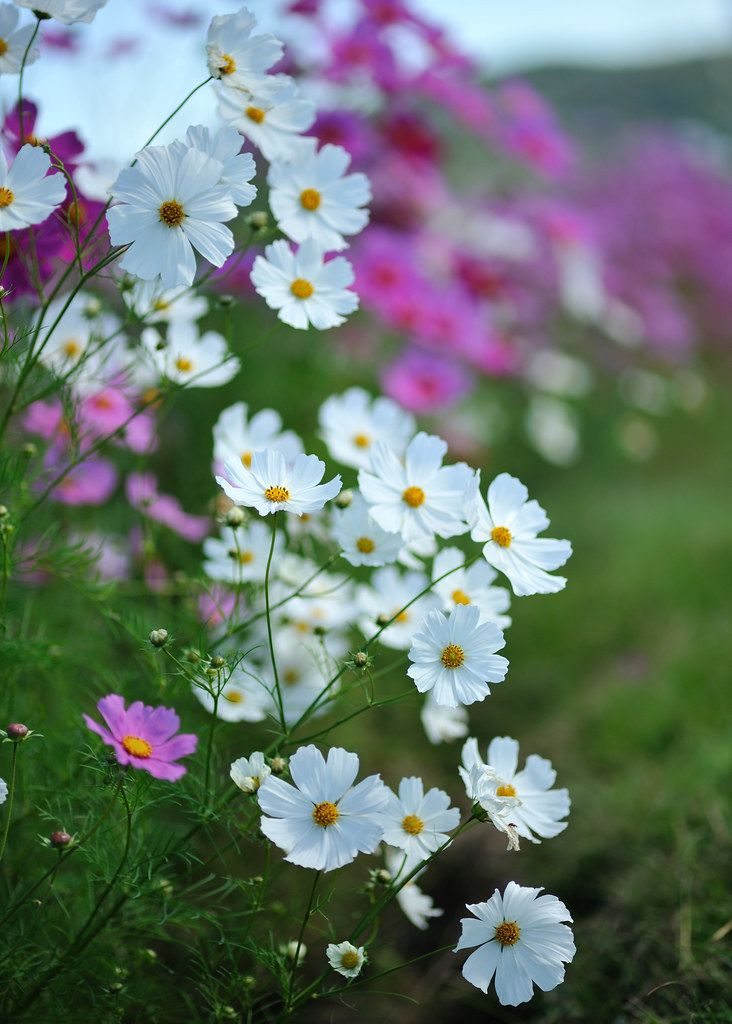 White Cosmos In 2020 Cosmos Flowers Flowers Photography Amazing Flowers