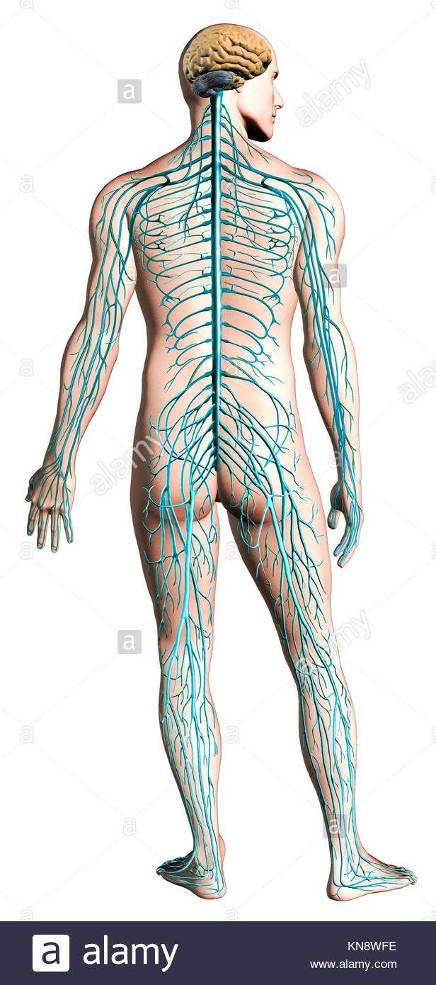 hight resolution of labeled picture of the nervous system labeled picture of the nervous system nervous system diagram