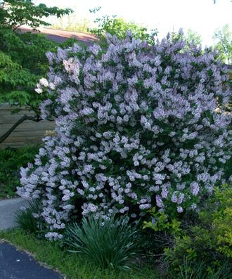 17 best images about plants on pinterest gardens for Low bushes for landscaping