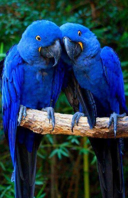 Hyacinth Macaws.