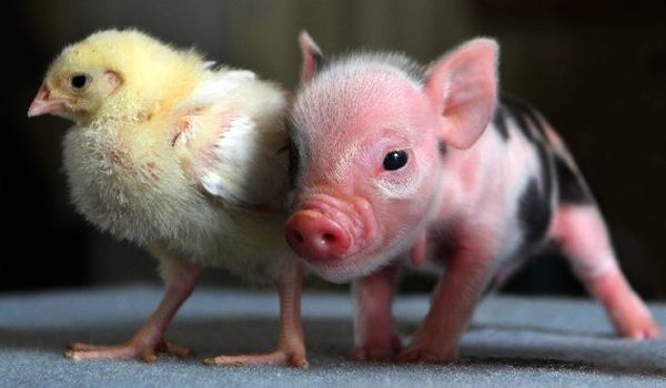 Baby chick and teacup pig