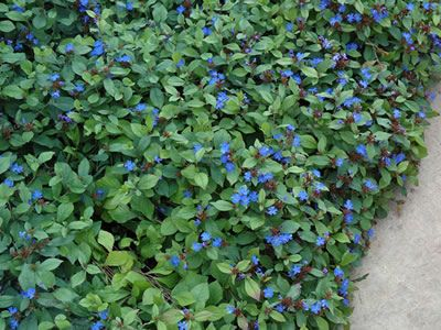 ceratostigma plumbaginoides hardy blue plumbago 1 gallon perennials for groundcover or. Black Bedroom Furniture Sets. Home Design Ideas