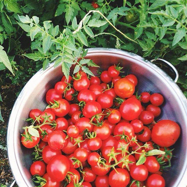 Ben yazlıktayım ama eniştem köydeki domatesleri toplamış mis gibi kokusu geldi valla  Domat Domat  #domat #domates #tomato #organic #garden #ataliktohum #seed #fromseedtofruit #izmir #iphoneonly #summer #vsco #vscocam #liveauthentic #livefolk #food #followme #eatclean