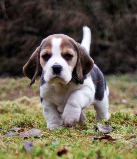Best Beagle Chubby Adorable Dog - d72e55357a3da1c50f427bf026f3472d--beagle-funny-baby-beagle  Gallery_782482  .jpg
