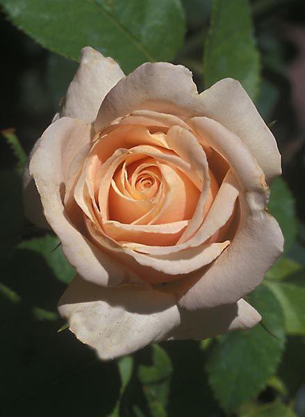 """""""Summer's Kiss"""" hybrid roses"""
