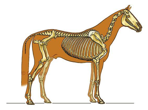 Super Les 73 meilleures images du tableau Squelette cheval sur Pinterest  BN45