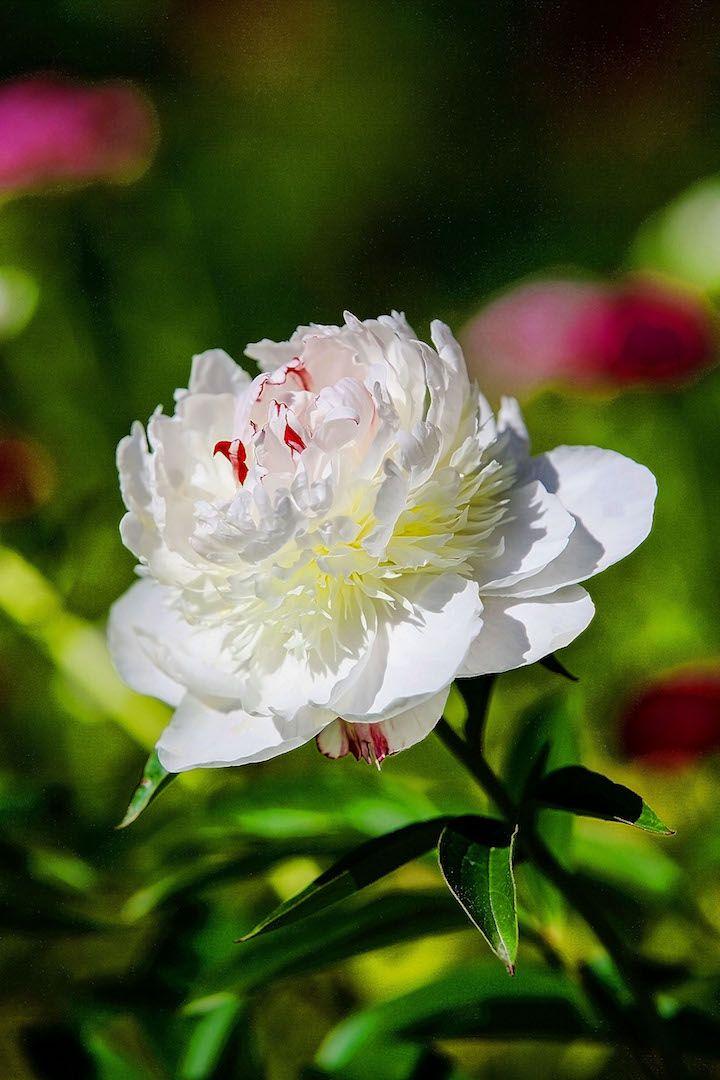 Белый пион. Усадьба Грибаново. Россия. фото: Ирина Майсова #flowers #wildflowers #bouquetflowers #nature #ecology #peony