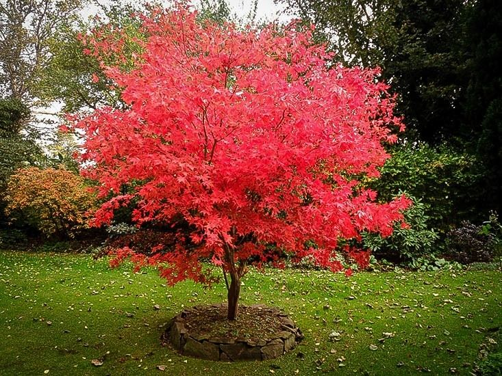 japanese maple - Google Search