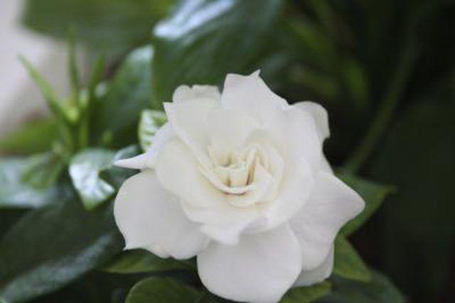 How To Prune Gardenias Plants Gardenia Care Gardenia Bush