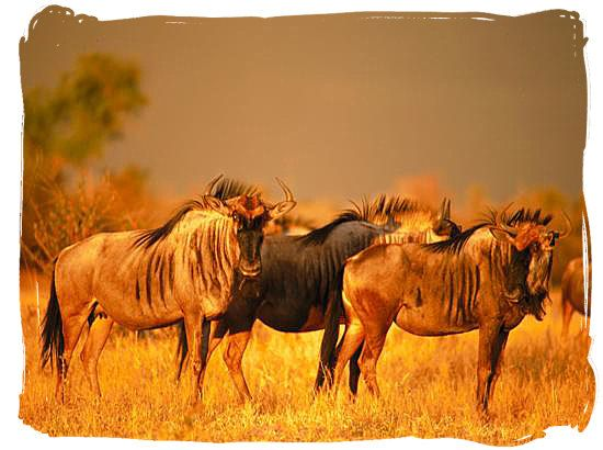 Blue wildebeest (gnu) on the African savannah - Best African Safaris, Africa safari wildlife park, safari vacation