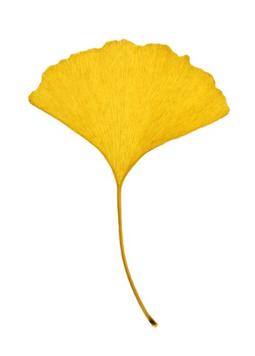 The golden glory of a Ginkgo Leaf in the Fall