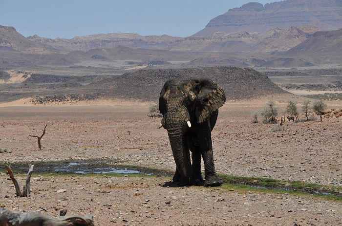 Desert-adapted elephant on a Diverse Namibia Exploration