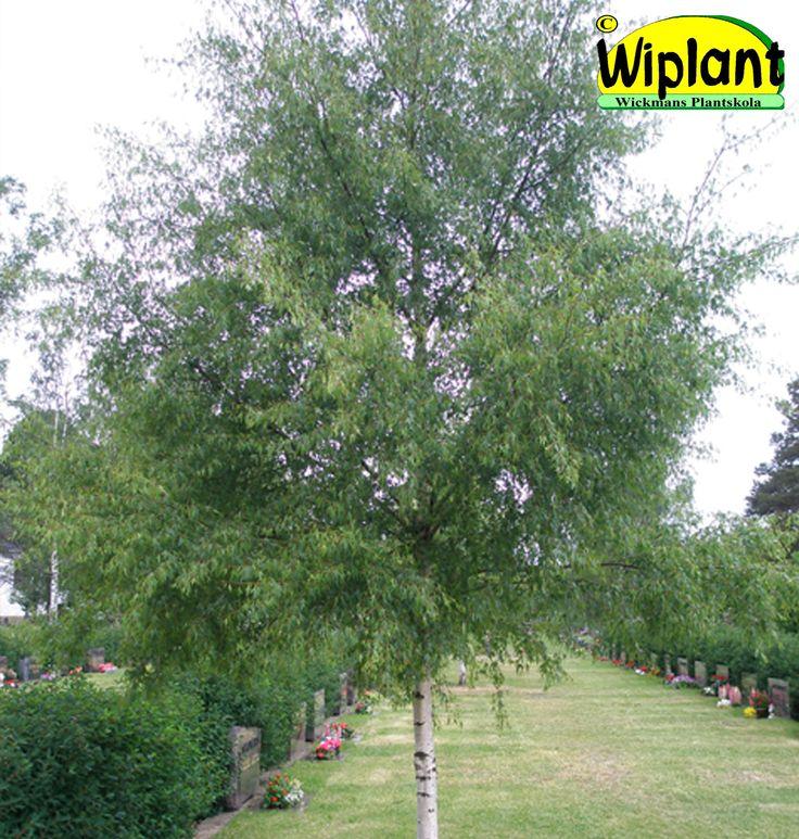 Betula 'Dalecarlica', Ornäsbjörk. Mycket vackra flikiga blad. Höjd: 15-25 m.