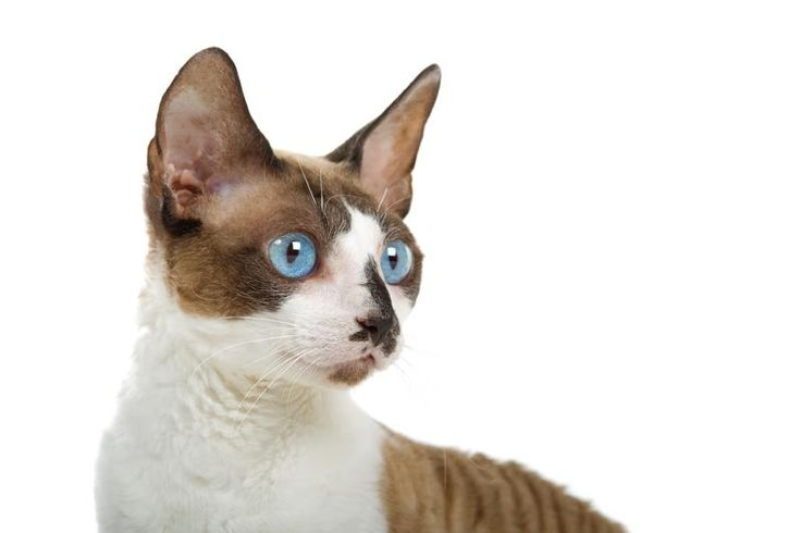 What Are the Most Popular Cat Breeds? [Slideshow]