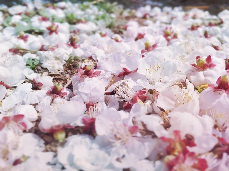 #flower #flowers #spring #iphonegraphy #iphoneography #sunshine #sunny #tree #peachblossom #fall #fell #fallen #floor #ground