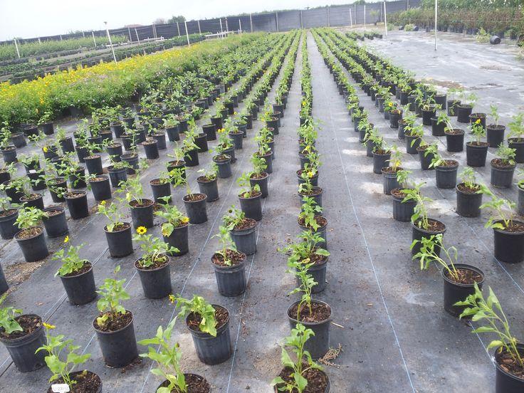 Beach Sunflower wholesale plants nursery florida  - Buy WHolesale plants - Deign Ideas - New Ideas - realpalmtrees.com Beautiful Landscape Ideas Love IT! Perfect Idea for any Space. #GreatGiftIdeas #RealPalmTrees #GreatDesignIdeas #LandscapeIdeas #2015PlantIdeas RealPalmTrees.com #BeautifulPlant #IndoorPalms #DIY2015 #PalmTrees #BuyPalmTrees #GreatView #backYardIdeas #DIYPlants #OutdoorLiving #OutdoorIdeas #SpringIdeas #Summer2015 #CoolPlants
